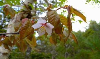 日本最後の桜の花見は7月20日、知床羅臼で!