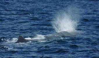 アルラン3世号でマッコウクジラを観察
